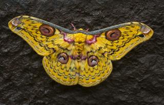 Golden Emperor Moth, Loepa katinka,  Bhandardara, Maharashtra, India