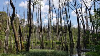 Erlenbruchwald an der Briese im Frühling