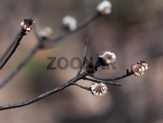 Seed pods germinate after bush fire