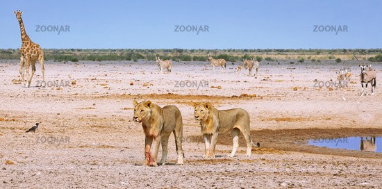 Löwen am Wasserloch, Etosha-Nationalpark, Namibia, (Panthera leo) | lions at a waterhole, Etosha National Park, Namibia, (Panthera leo)