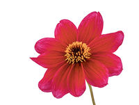 Isolated red dahlia flower blossom