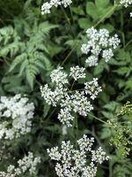 Wiesenkerbel, Cow parsley, anthriscus sylvestris