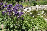 Gemeine Akelei (Aquilegia vulgaris) - blühende Pflanze im Garten