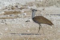 Riesentrappe - Ardeotis Koris, Afrikas schwerster flugfähiger Vogel