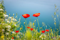 Beautiful red poppies at Lake Ohrid, Macedonia
