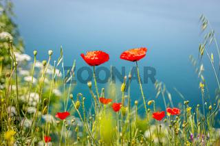 Beautiful red poppies at Lake Ohrid, Macedonia