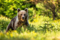 Brown bear on glade with tall green grass and spruce tree at sunset in summer