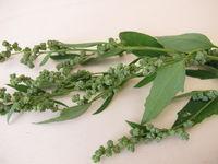 Weißer Gänsefuß mit Samen, Chenopodium album