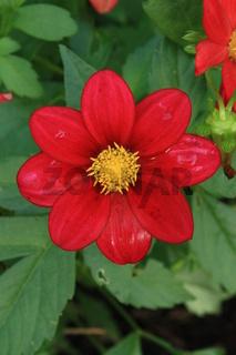 Dahlienblüte, einfach, rot