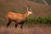 Tatra chamois bleating on meadow in summer nature.