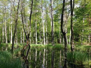 Erlenbruchwald und Spiegelung an der Briese in Brandenburg