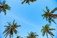 Palm top trees on blue sky