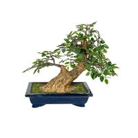 Bonsai tree isolated on a white background. The Japanese art