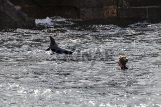 Delfin (Tursiops truncatus)