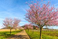 Mandelblüte an der Deutschen Weinstraße, Geilweilerhof, Siebeldingen, Rheinland-Pfalz, Deutschland