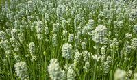 lavender plant closeup