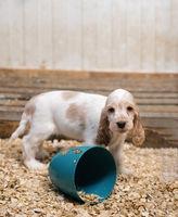 small purebred English Cocker Spaniel puppy
