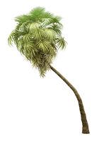 california palm tree isolated on white background