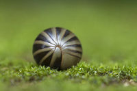 Pill Milliipede curled in a ball, Amboli, India
