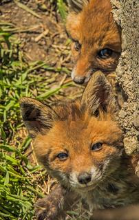 Junge Rotfüchse 'Vulpes vulpes'