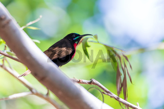 Scarlet-chested sunbird, Chalcomitra senegalensis, Ethiopia