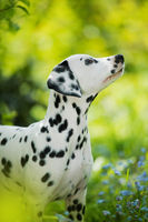 Dalmatian puppy in a forget me not meadow