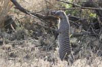 banded mongoose in the African savannah near shrubs