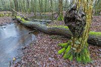 Waldbach in einem Mischwald / Forest stream in a mixed forest / Schierenwald  -  Kreis Steinburg