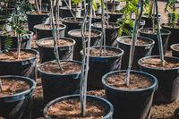 many trees in pots in tree nursery or garden shop