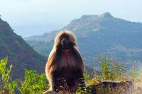 Baboon (Papio hamadryas) in Ethiopian highlands