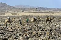 Dromedar-Karawane auf Wanderung in der Danakil Depression, Afar Region, Äthiopien