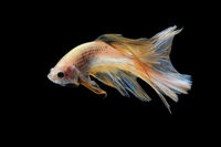 Colourful Betta fish,Siamese fighting fish in movement isolated on black background