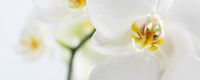Beautiful and fragrant white phalaenopsis orchid close up. Orchid family flowering plant. Wide natural background with copy space