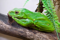 Chinese flying frog