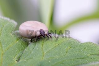 Tick (Ixodes ricinus) isolated on white