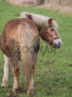 pferd im münsterland