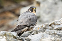 Peregrine falcon sitting on rock in autumn nature.