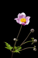 Anemone hupehensis with four buds _ Herbst-Anemone