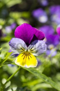 Viola tricolor, Wildes Stiefmütterchen