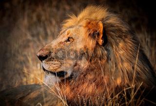 Löwe im warmen Nachmittagslicht, Südafrika - lion in the warm light of the day, South Africa