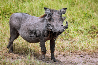 Warzenschwein im Lake Mburo Nationalpark in Uganda (Phacochoerus africanus) | Warthog at Lake Mburo National Park in Uganda (Phacochoerus africanus)