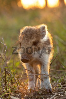 Lovely young wild boar piglet standing on field at sunset