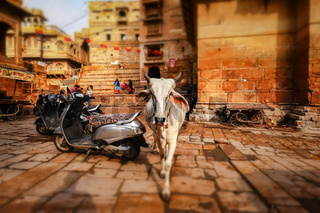 Tilt shift lens - Cow on street in India. Constitution of India mandates the protection of cows. Rajasthan, India. Jaisalmer Fort is situated in the city of Jaisalmer