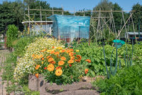 Dutch allotment garden with flower bed and covered tomatos