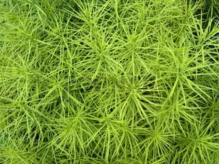 Blausternbusch (Amsonia hubrichtii), Nordamerika