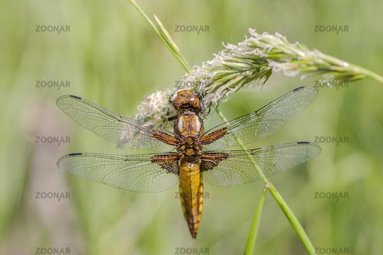 Plattbauchlibelle  'Libellula depressa', weiblich