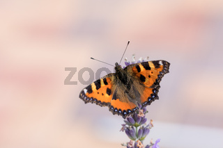 Small tortoiseshell butterfly on lavender