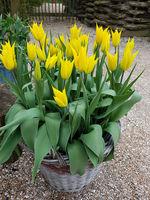 Tulipa La Perla, Tulpenbluete