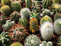 small cactus plants closeup - miniature houseplant decoration