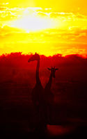 Giraffen im Sonnenuntergang, Etosha-Nationalpark, Namibia, (Giraffa camelopardalis) | Giraffes at the sunset, Etosha National Park, Namibia, (Giraffa camelopardalis)